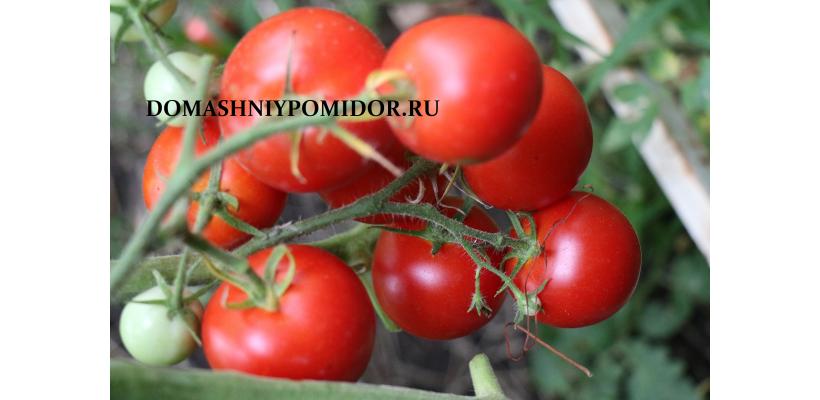 Мясистый помидор ( Fleischtomate, Германия)