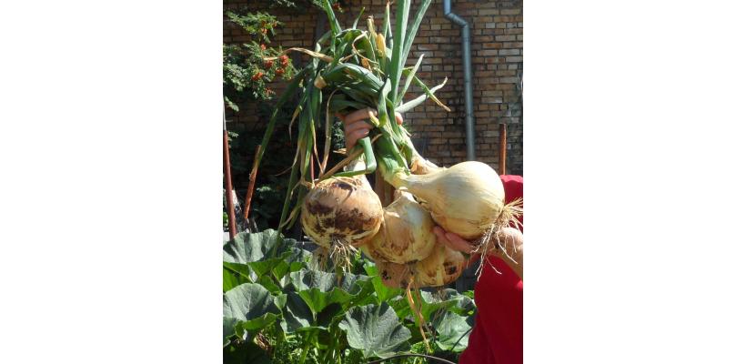 Лук репчатый Эксибишен ( Производство Bejo, Голландия )