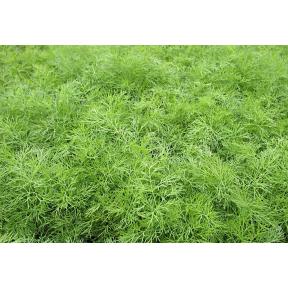 Зелёный Рукав ( Производство Enza Zaden, Голландия )