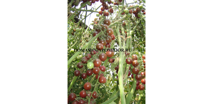 Шоколадная вишня ( Chocolate Cherry, США)