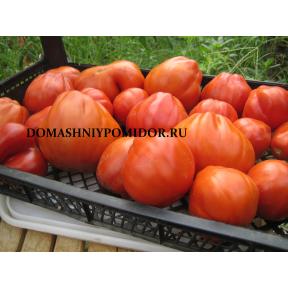 Красная груша Франчи ( Red Pear Franchi, Италия )