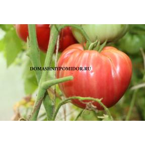 Сердце Доминго Х Выбор Билла Фасоли ( Domingo Heart Х Bill Bean Select, США, Россия)
