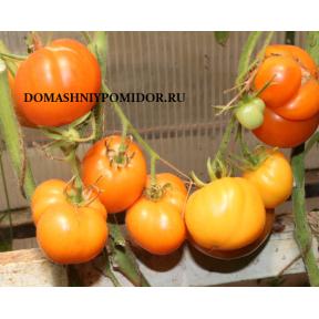Козула 183 ( Kozula 183, Beeforange x Orange Strawberry, Польша)
