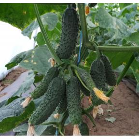 Абсолют F1 семена огурца ( Производство Bejo, Голландия )