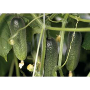 Адам F1 семена огурца ( Производство Bejo, Голландия )