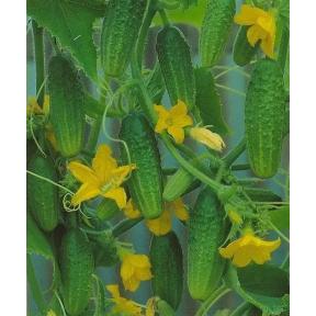 Астерикс F1 семена огурца ( Производство Bejo, Голландия )