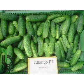 Атлантис F1 семена огурца ( Производство Bejo, Голландия )