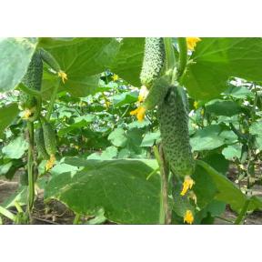Саунд F1 семена огурца ( Rijk Zwaan, Голландия)