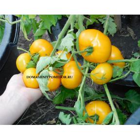 Золотой Урожай (Golden Harvest, Китай)