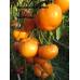 Амана Оранжевый ( Amana Orange, США)