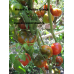 Коллекция томатов- Бычье сердце