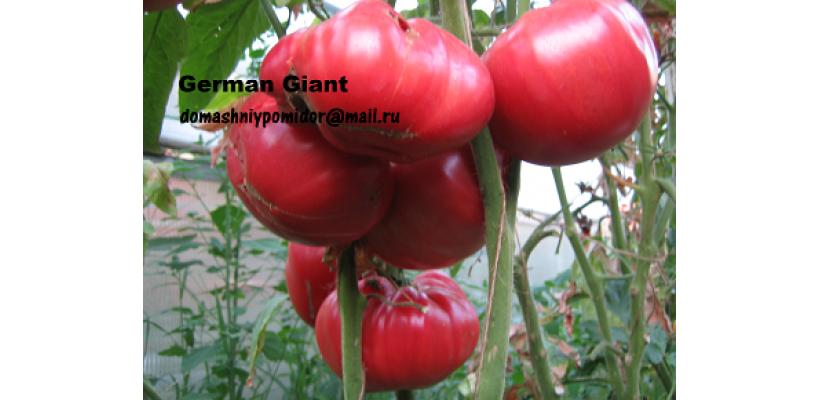 Германский гигант ( German Giant, Германия )