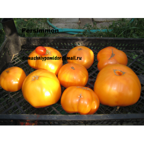 Хурма ( Persimmon, США)