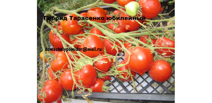 Гибрид Тарасенко Юбилейный