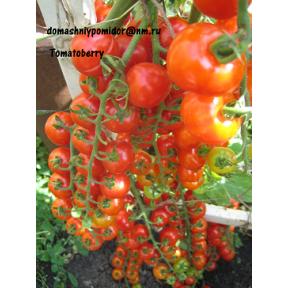 Клубничка ( Tomatoberry )