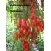 Коллекция томатов- Томаты коктейльного типа