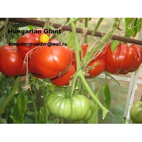 Hungarian Giant