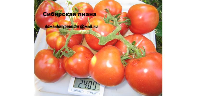 Сибирская лиана ( профессиональная упаковка для фермеров 500 шт.)